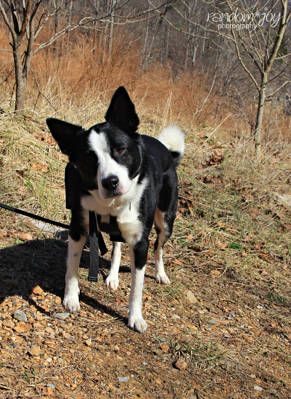 Pine Needles And Dogs : needles, Appalachia, Beyond:, Christmas:, Learn, Protect, Holiday, Hazards