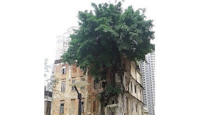 Pohon yang tumbuh di bangunan apartemen