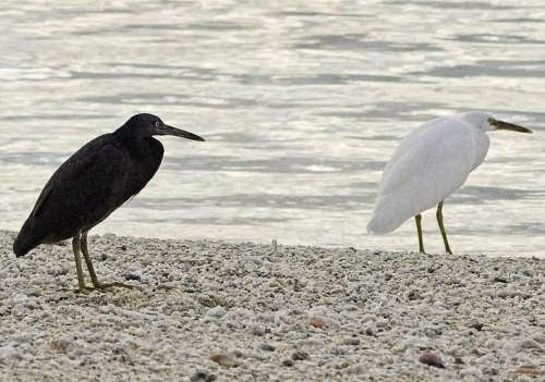 Indian birds - Pacific reef heron - Egretta sacra