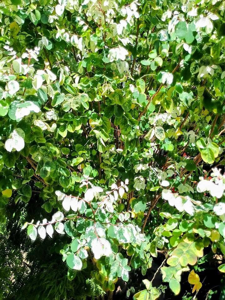 哈克花花草草區: 彩葉山漆莖的原種--白雪樹~