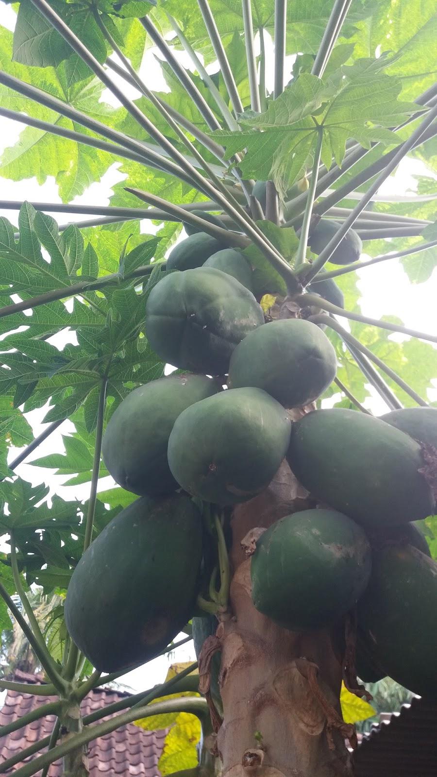 Manfaat Getah Pepaya Stokis Hcs Boyolali
