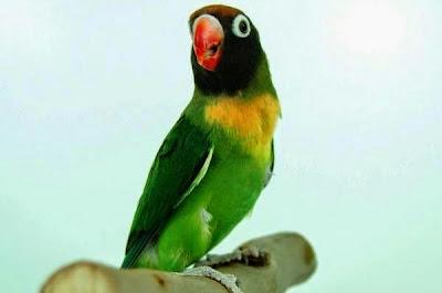 lovebird macet bunyi
