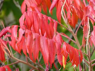 Sumac de Virginie - Vinaigrier - Sumac amarante - Rhus typhina