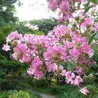 大阪城公園 サルスベリの花(ピンク色)