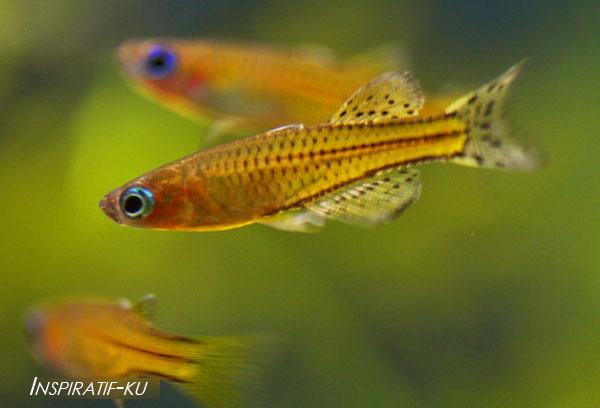 Pembesaran burayak Ikan Hias Rainbow Dan Ikan Hias Kongo Tetra