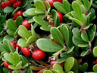 Bearberry fruit images wallpaper