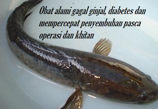 Gagal ginjal sehat kembali dengan konsumsi ikan gabus