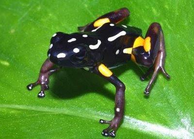 Rã-arlequim (Atelopus varius), a espécie era encontrada da Costa Rica até ao Panamá. Atualmente,  encontra-se em perigo de extinção, sendo encontrado apenas uns poucos sobreviventes na Costa Rica e extinta no Panamá.