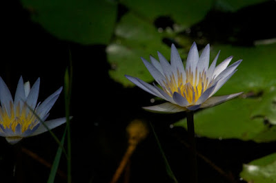Water lilies (Nymphaea sp)
