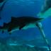 """Tiburón hembra se come a otro tiburón por andar de """"insistente"""". Hasta en los animales, cuando una hembra dice que NO, es NO."""