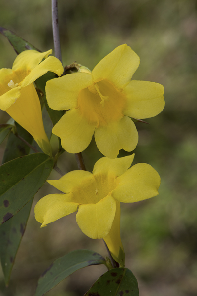 Florida Native Plant Society Blog Wednesdays Wildflower Yellow