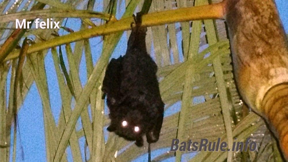 Backyard Megabat, Flying fox, Fruit bat, Bats N Wildlife - Cover