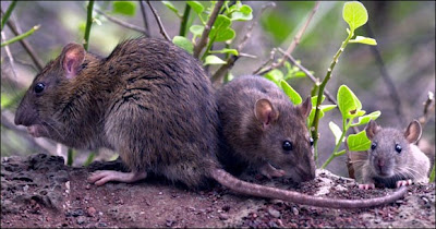 Rat kill in Galapagos Islands targets 180 million