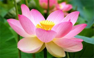 Foto Bunga Teratai Yang Sedang Mekar_Lotus Flower Picture