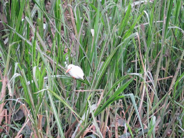 Albino malachite kingfisher in the reeds on the Kazinga Channel in Uganda