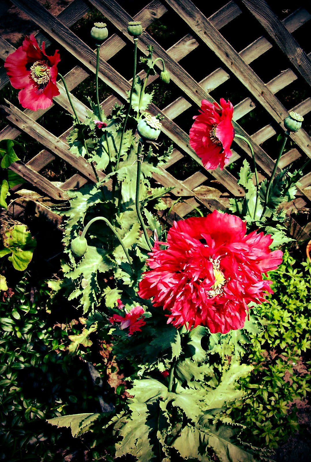 nefaeria: poppy love