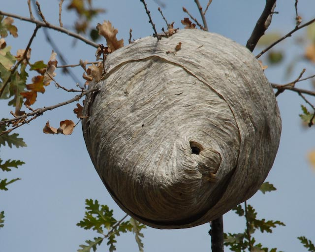 Hive Vs Nest >> Blog of the Soap Pixie: BEE, WASP, HORNET... IS THERE A DIFFERENCE?