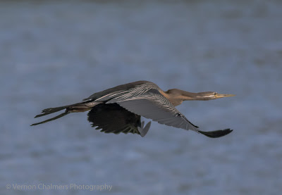 African Darter in Flight : Table Bay Nature Reserve, Woodbridge Island / Cape Town Frame 4/4
