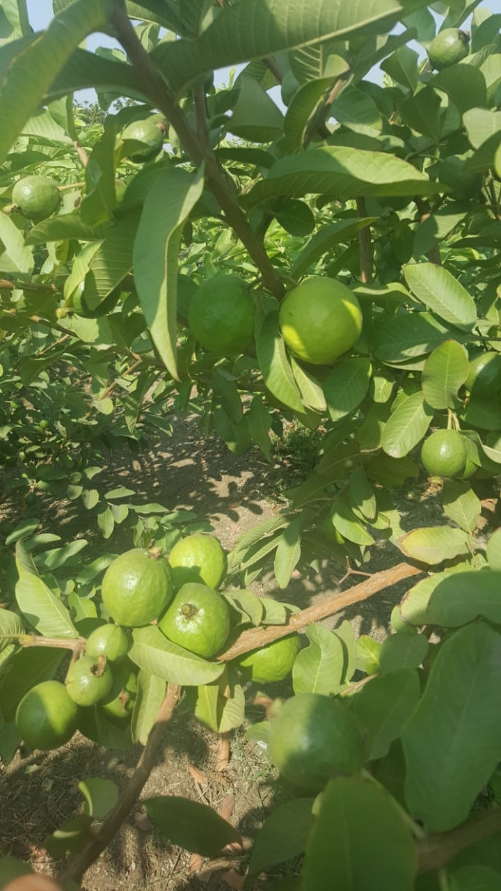 Guava cultivation - Horticultural Crops Cultivation - Organic