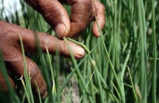 Mengendalikan hama ulat daun dengan treatmen yang tepat