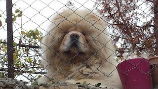 Fluffy, Dog, Yambol,