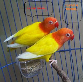 sejarah asal-usul lovebird