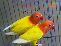 Sejarah Dan Asal Usul Burung Lovebird