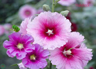 hollyhock flower, hollyhock