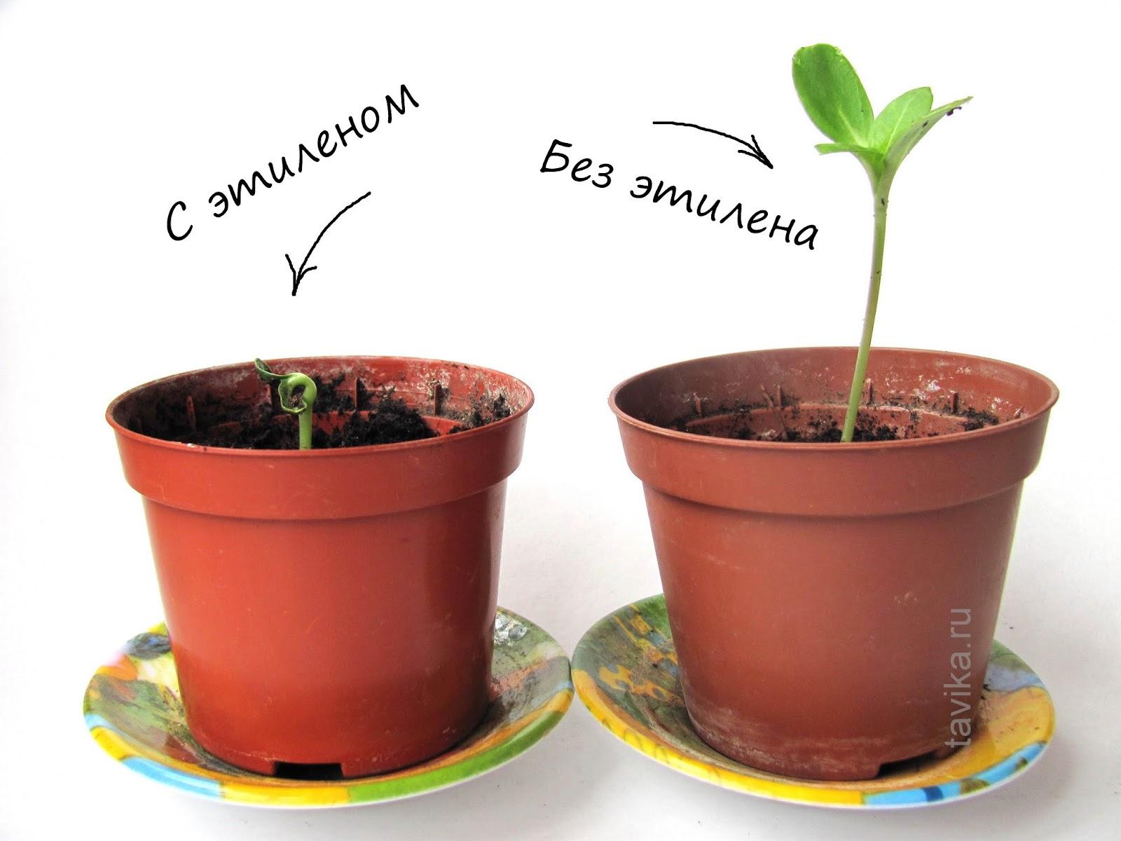 опыты по ботанике: влияние этилена