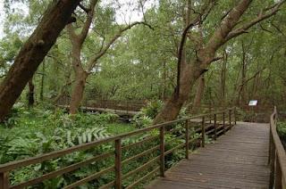 jembatan kayu kawasan hutan mangrove pik jakarta