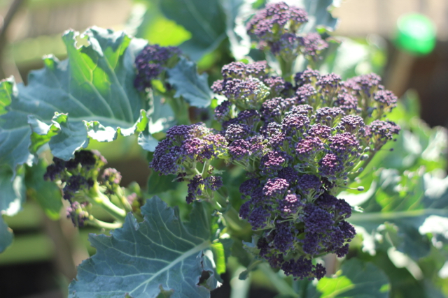 Early purple sprouting broccoli shoots
