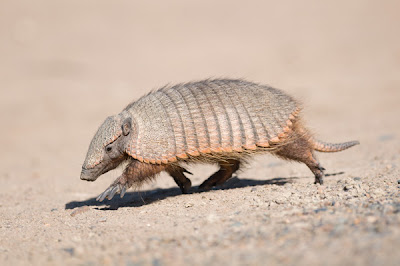 Larg hairy Armadillo