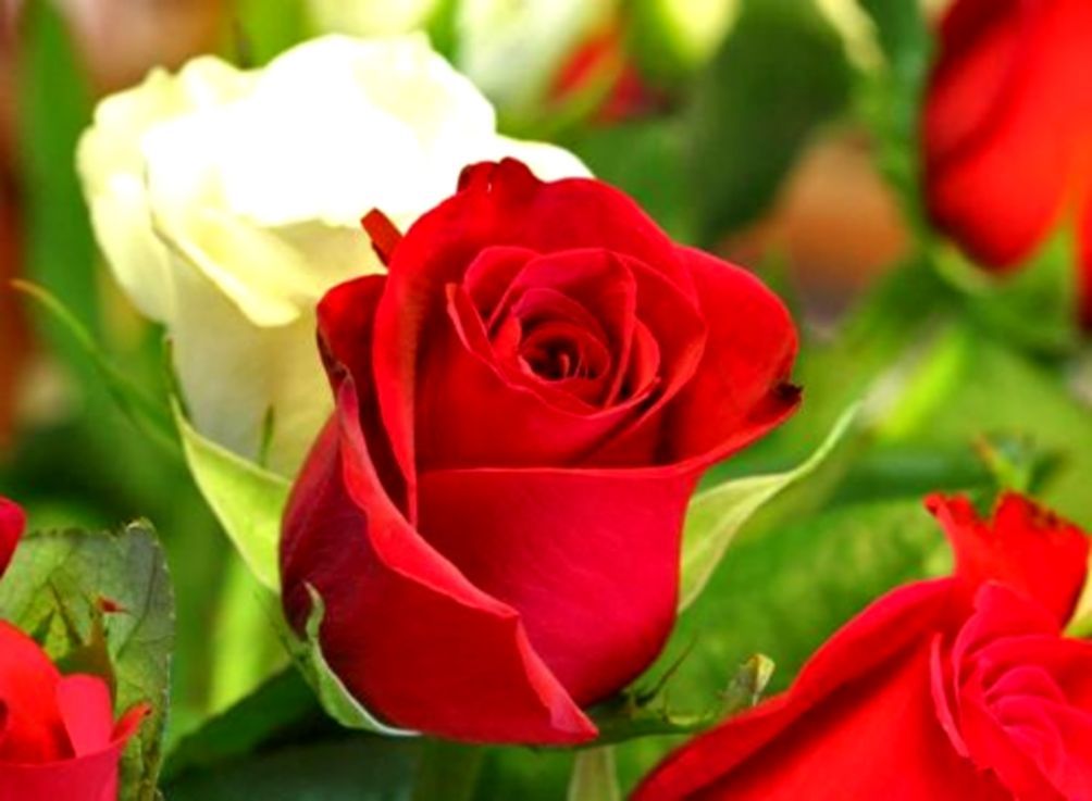 Rose Flower Wallpaper Free Download Wallpapers Quality