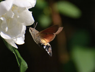 hummingbird moth,most common insect in the world