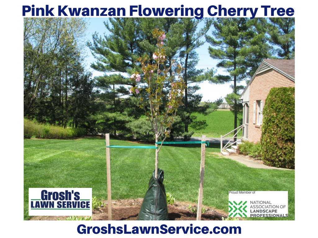 Flowering Pink Kwanzan Cherry Tree Picture Property Of Grosh S Lawn Service Design Studios Clear Spring Md 21722 Tom Master Landscaper