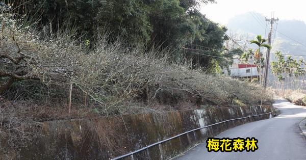 台中新社|2019梅花森林|一大片梅樹形成森林|適合近拍或當背景花牆