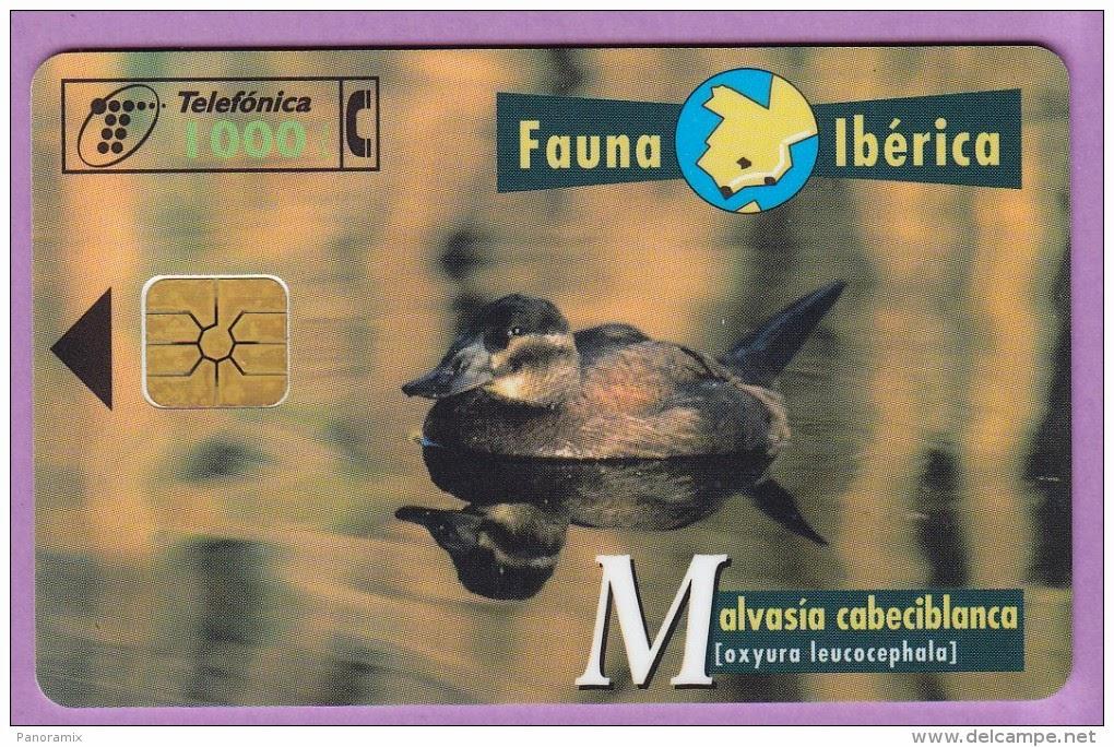 Tarjeta telefónica Malvasía cabeciblanca (Oxyura leucocephala)