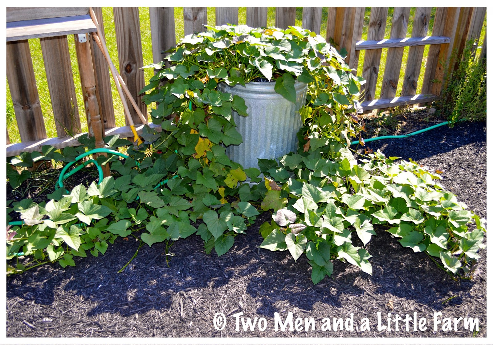 So Last May We Planted Some Sweet Potato Slips That Had Rooted And Grown Used Two Large Metal Trashcans As Containers