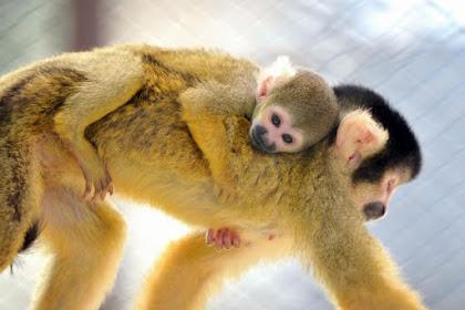 ボリビアリスザル赤ちゃん誕生 姫路市立動物園