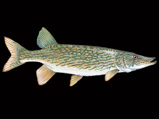 Chain Pickerel Fish Pictures