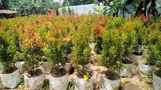 Jual Pohon Pucuk Merah di Tangerang Selatan,Jual Tanaman Hias Pucuk Merah,Pohon Pucuk Merah Murah,Bibit Pohon Pucuk Merah
