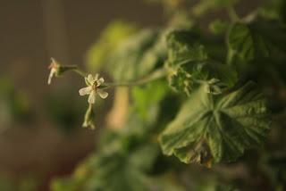 Flores de pelargonium odoratissimum.