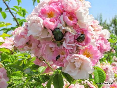 Rose antiche a Serramazzoni