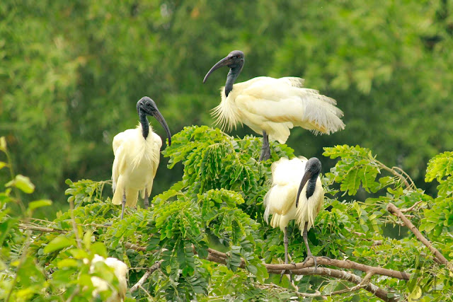 Black Headed Ibis - Ranganathittu