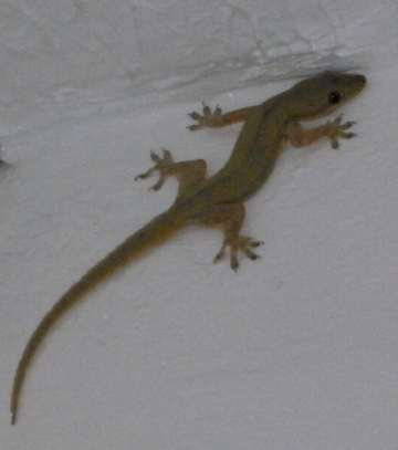 Why do lizards kiss the ground every evening?