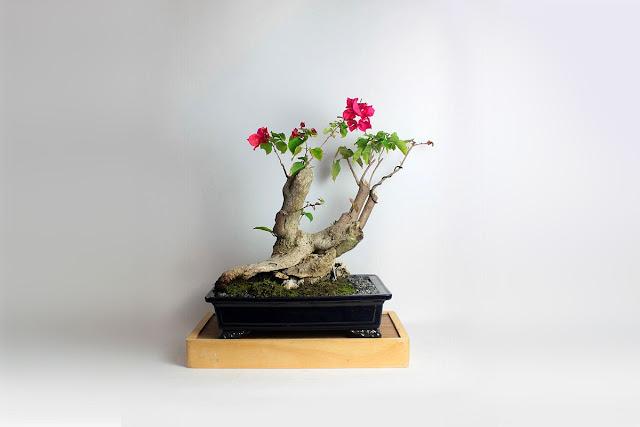 японское дерево бонсай, интерьер, декор, дом