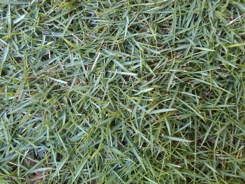 Inilah Tipe Rumput yang Sangat Cocok Untuk Ditanam di Taman Anda