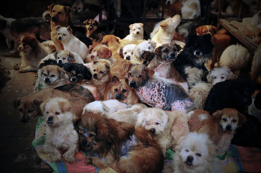 She runs a shelter called 'Common Home,' which is home to more than 1,000 dogs - Chinese Woman Travels 1,500 Miles And Pays $1,100 To Save 100 Dogs From Chinese Dog-Eating Festival