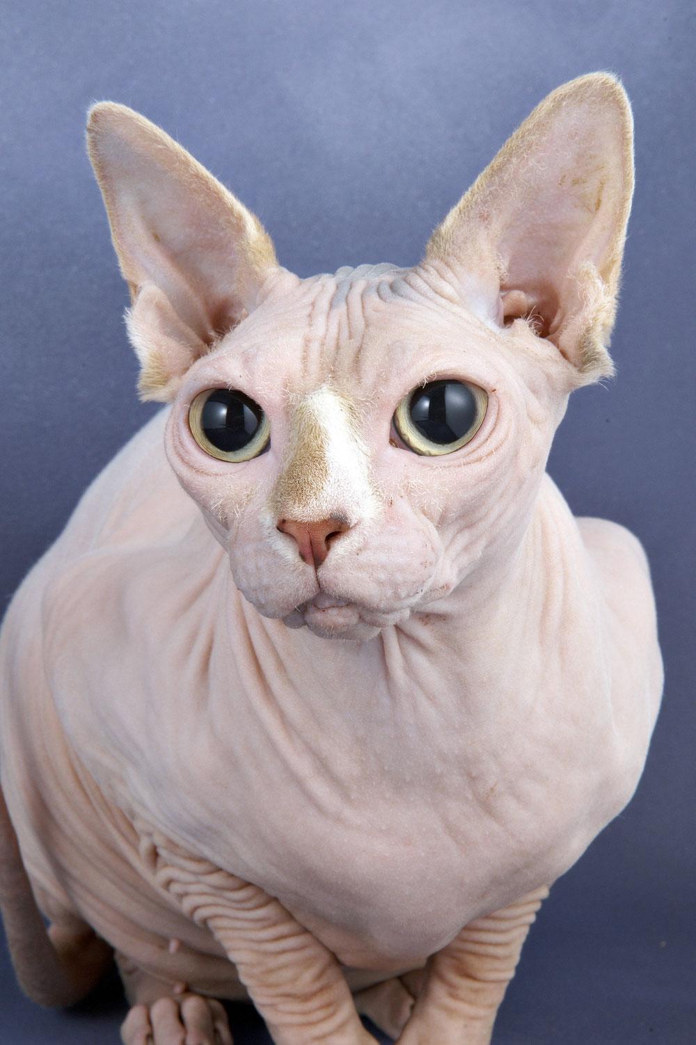 Sphynx Cat Photos
