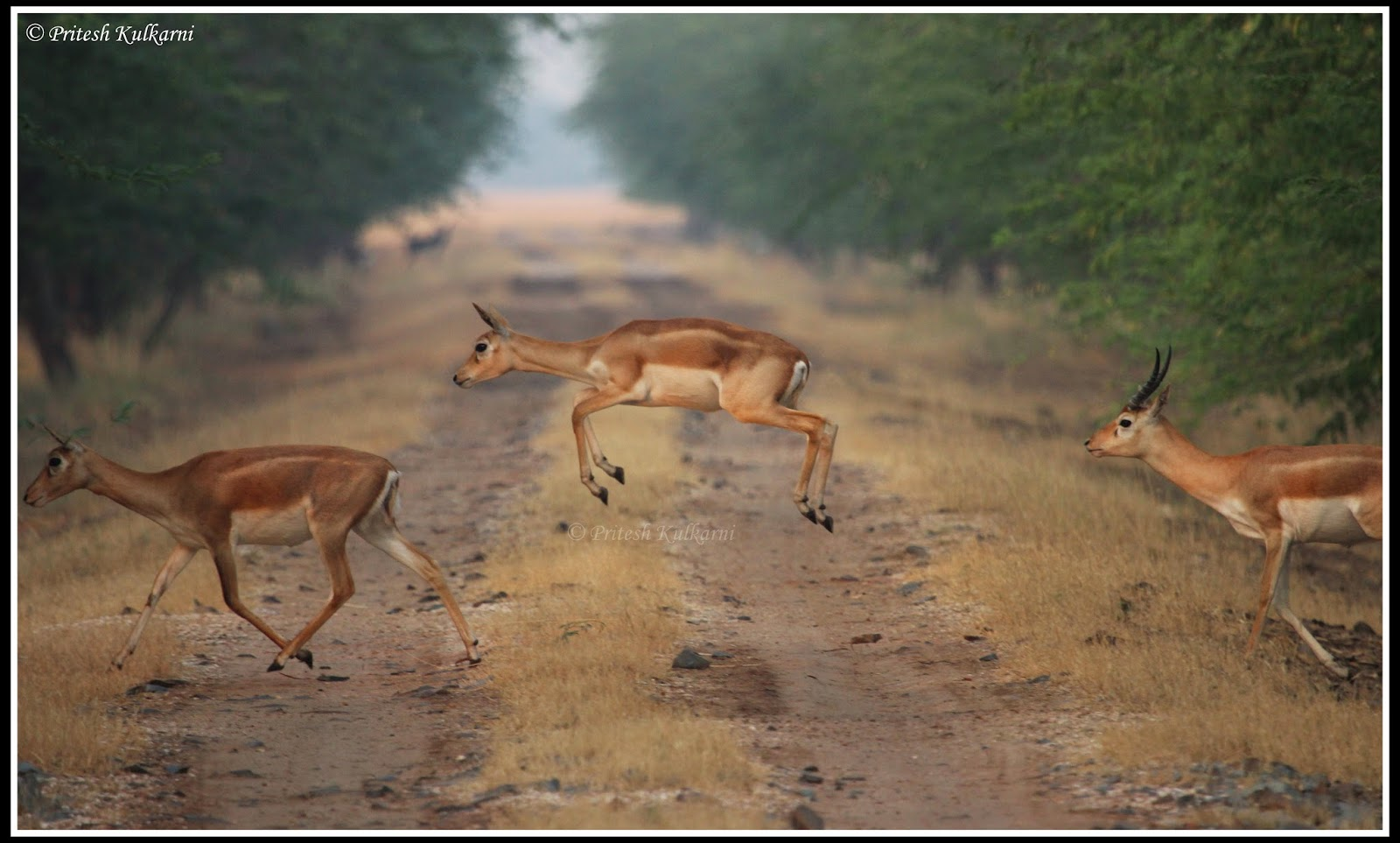 Blackbuck Jump